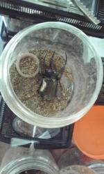 カブト虫2